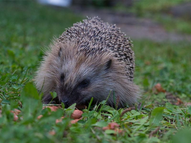 European Hedgehog - © Tero Laakso