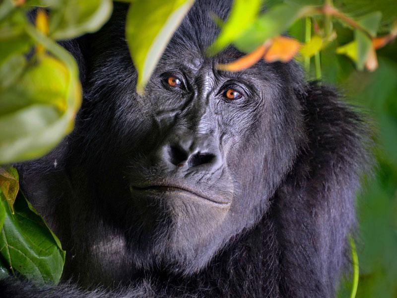 Mountain Gorilla - © Rod Warrington
