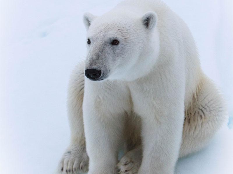 Polar Bear - © Nomis Simon