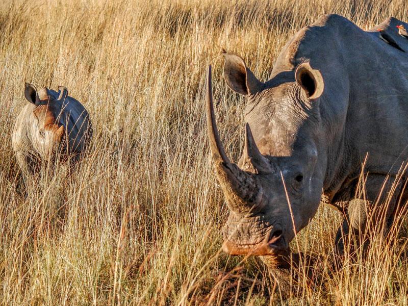 White Rhino - © Fyre Mael